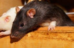 Ratten in der Kanalisation: Lebensweise, Maßnahmen und Gefahren